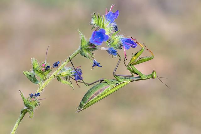 *Die Eleganz der Mantis*