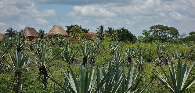 MEXIKO, Yucatán , Hacienda Sotuta de Peón, Sisalplantage,  19110/11771