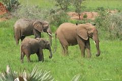 Éléphant d'Afrique / Loxodonta africana africana / Savanna Elephant