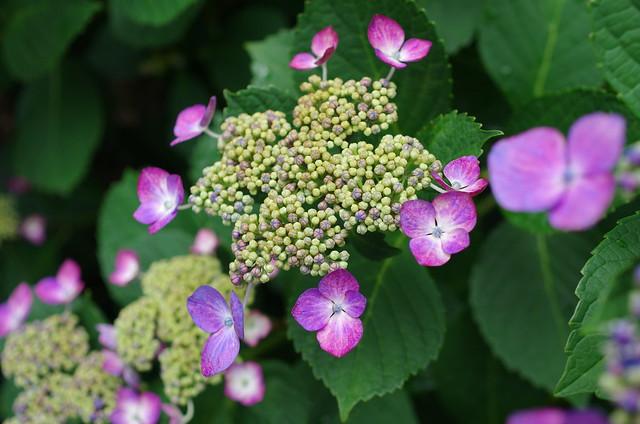 461 - wisteria2-kozo