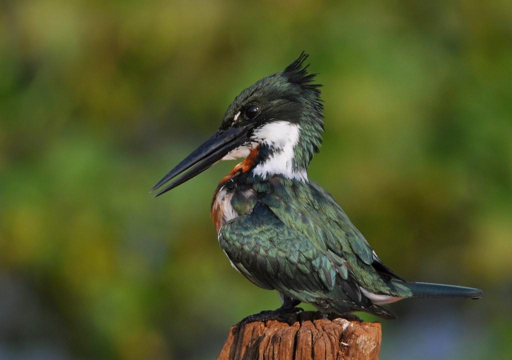 Amazon kingfisher / Martim-pescador-verde