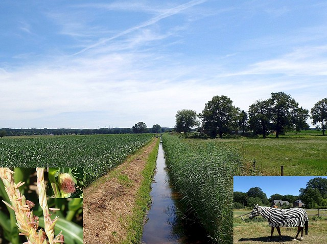 Ditched Ditch. Fossa Eugeniana and Corn, Zea mays, and a Zebrorse, Bennebroek, Straelen, Germany