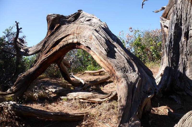 Utah juniper (2)