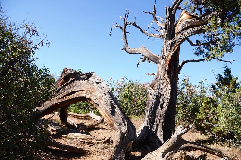 Utah juniper (1)