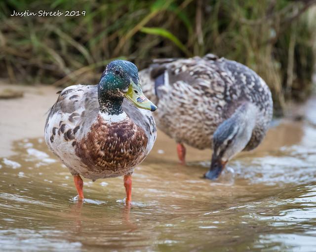 Maryland Ducks