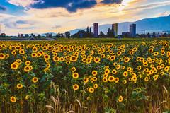 Sunflowers in the Evening Sun