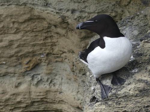 Pingouin Torda - Alca Torda