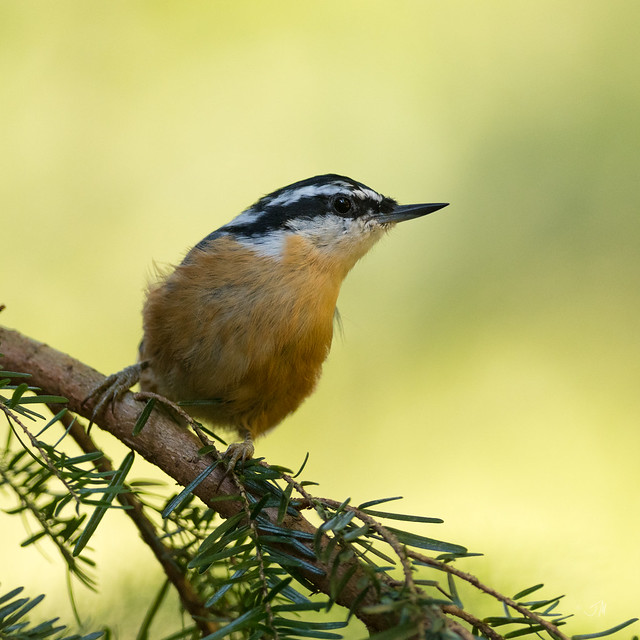Male Red-breasted Nuthatch (Sitta canadensis)