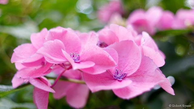 Hydrangea macrophylla Saxon® Meissen rosa
