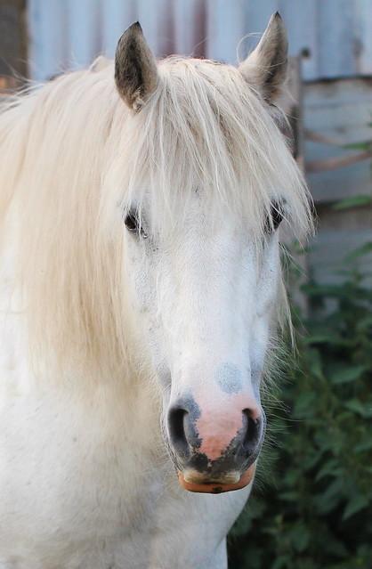 White Horse Portait