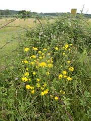 Yellow not-dandelions