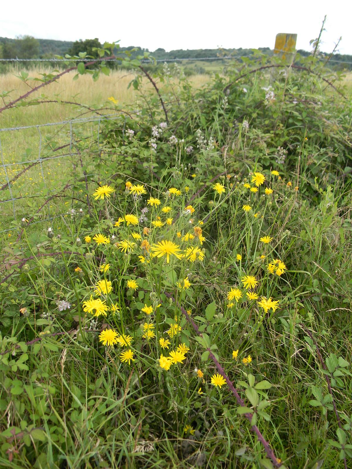 Yellow not-dandelions Possibly cats ears Shoreham figure of 8