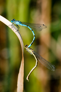Common Blue Damsel