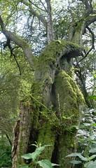 Gnarled mossy tree