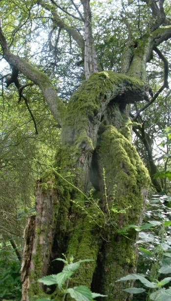 Gnarled mossy tree Shoreham figure of 8