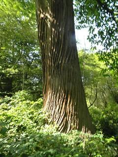 Old chestnut