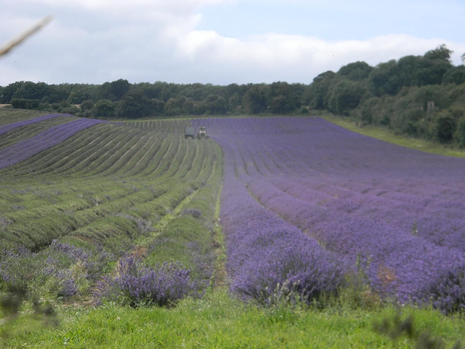 Harvesting lavender Shoreham figure of 8