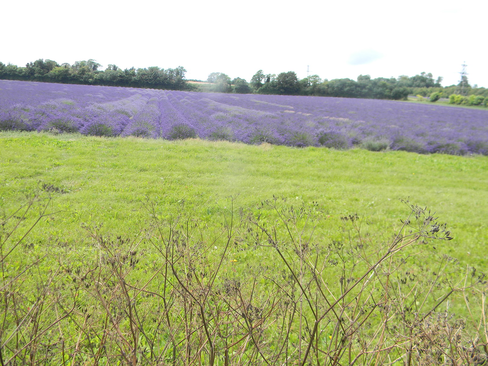 Lavender field Shoreham figure of 8