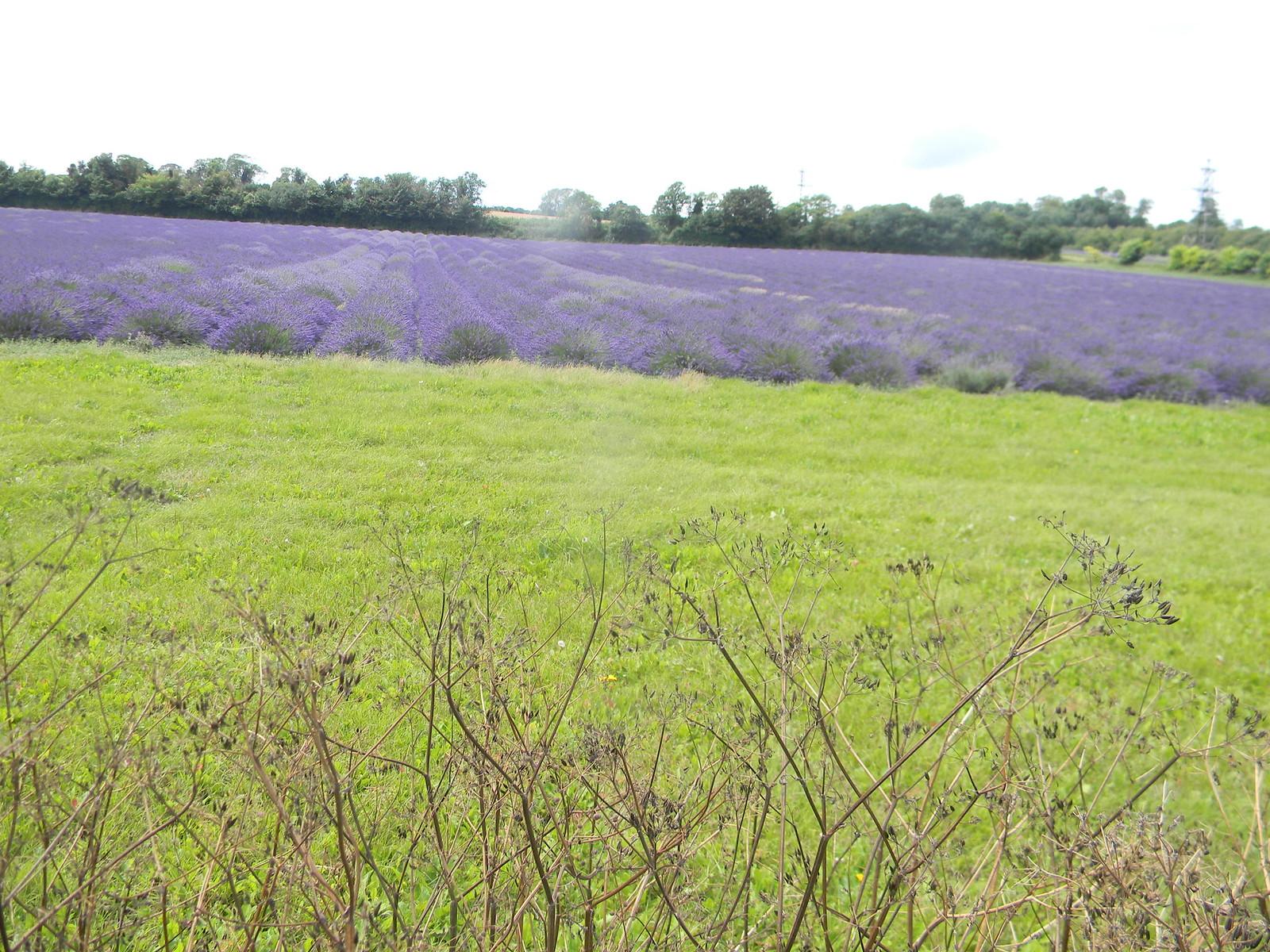 Lavender field Shoreham figure of 8