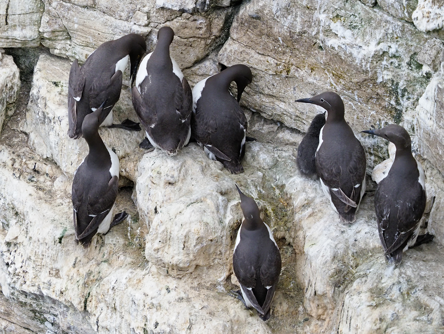 Guillemots [including a Bridled]