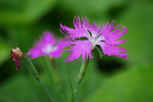 Wild pink dianthus