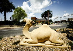 Camel Watching Over Street