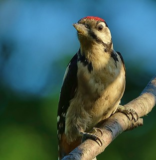 Juvenile Great Spotted Woodpecker