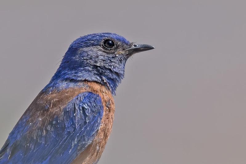 Western-Bluebird-23-7D2-070519