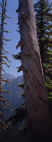 Twisted tree in the Cascade Mountains of southern BC, Canada