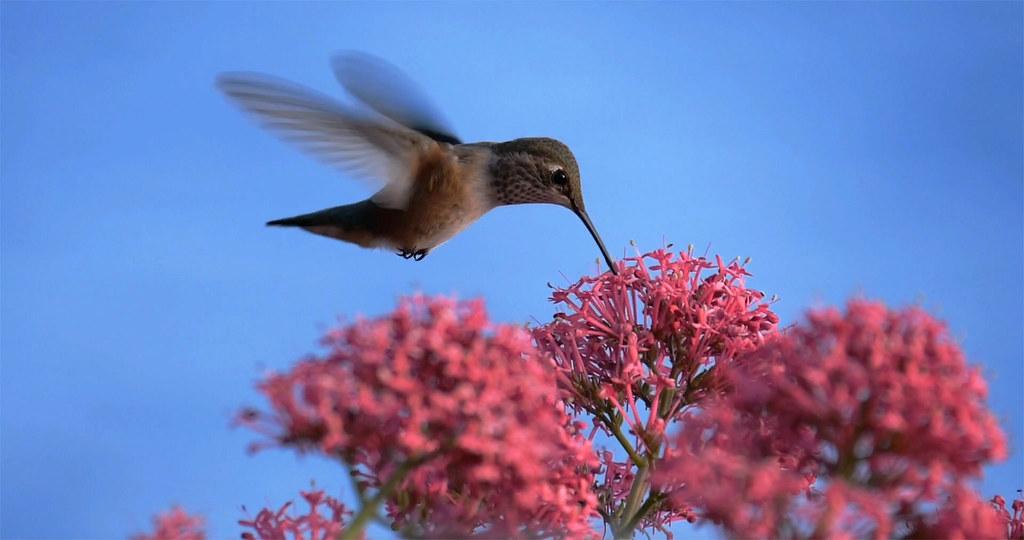Hungry Hummingbird 2
