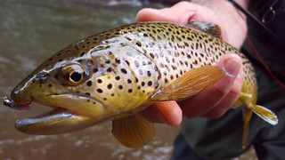 Photo of a Brown trout