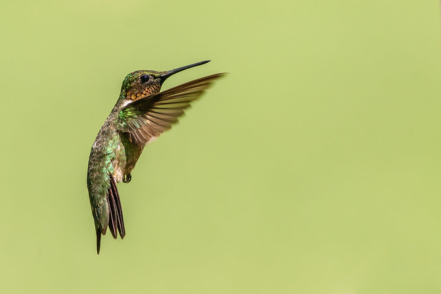 Ruby throated hummingbird male (Explored 06/23/2019)