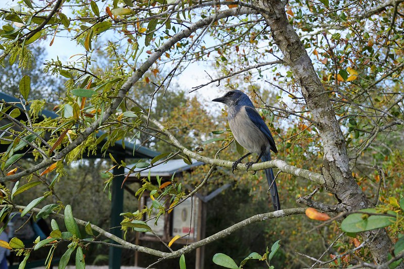 Florida Scrub Jay - #WingsOfTheWest Mural Trail:  Lyonia Preserve in West Volusia County, Fla., March 2019