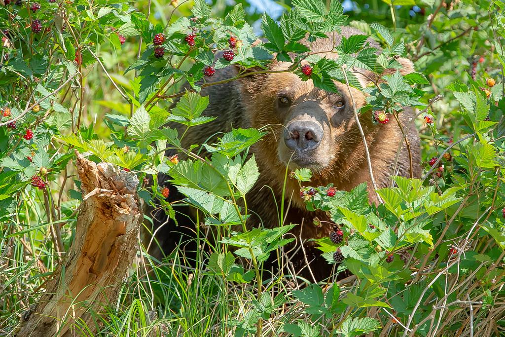 Bear in the Berries