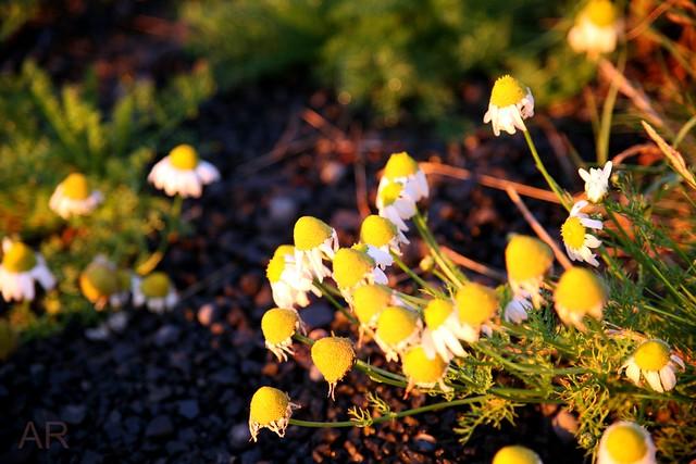 Flowers of Icelandic coast