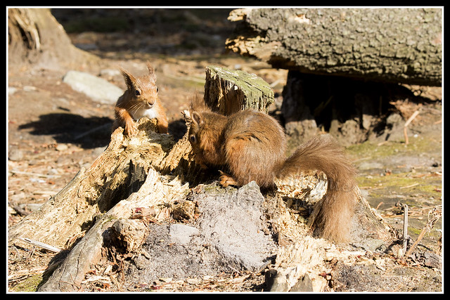 IMG_0137 Red Squirrel