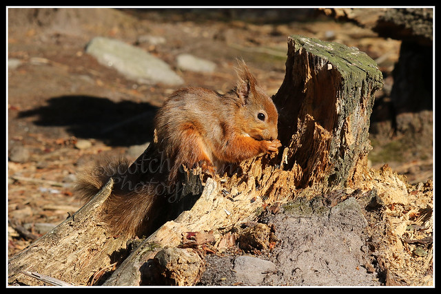 IMG_0128 Red Squirrel