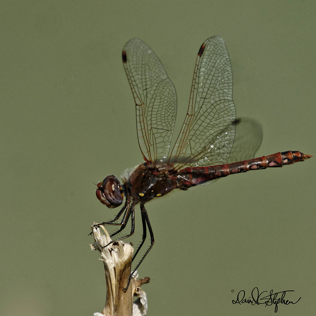 Dragonfly - Wings Up