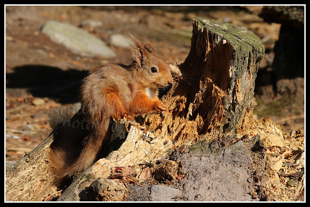 IMG_0131 Red Squirrel