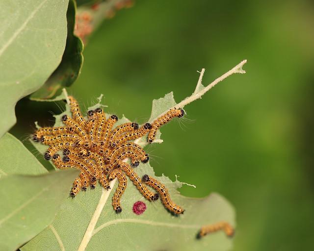 Buff-tip Moth Caterpillars!