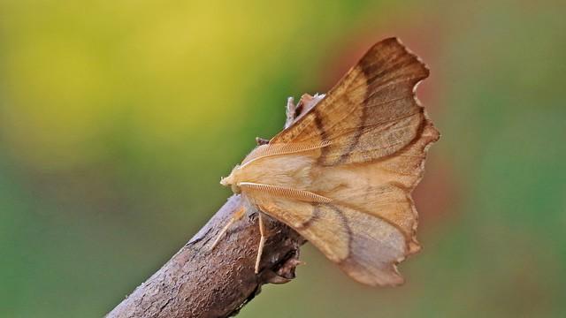 Dusky Thorn Ennomos fuscantaria