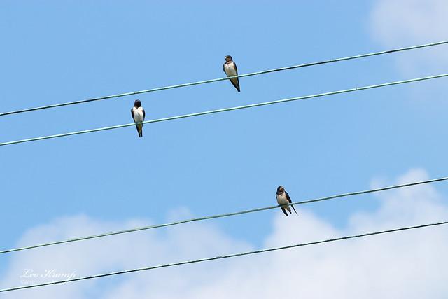 Swallows | Zwaluwen