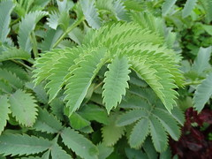 Melianthus major leaf