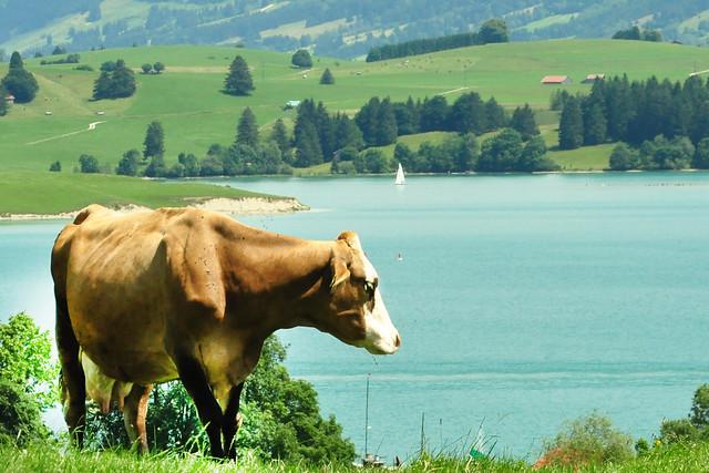 Juli 2019 ... Der Forggensee im bayerischen Allgäu ... mit Kuh ... Foto: Brigitte Stolle
