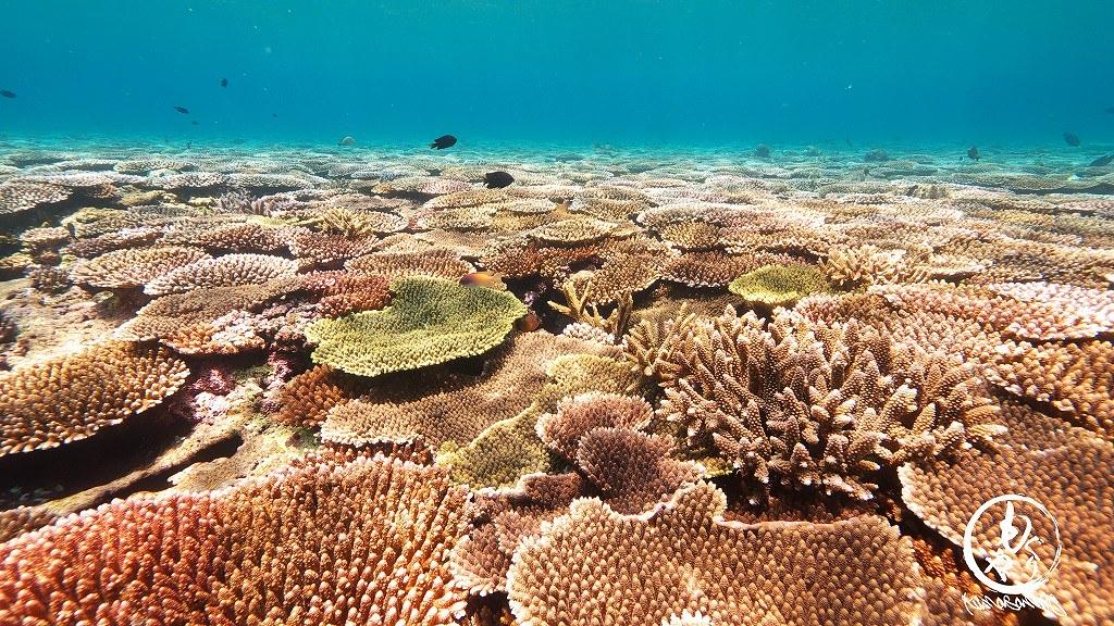 一面に広がる珊瑚