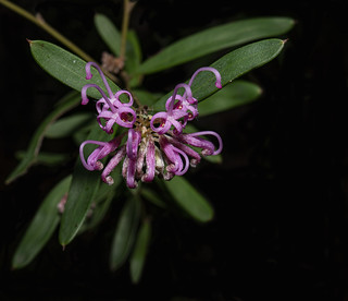 unnamed flower growing in Kuring- gai National Park.