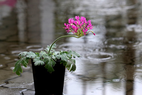 Pelargonium incrassatum in the rain