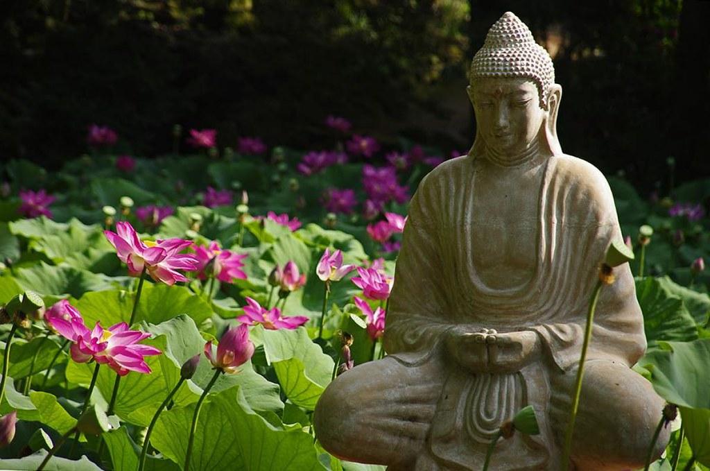 Miért is ünneplik a lótusz virágzását? – idén tizenkettedik alkalommal rendezik meg a Lótusznapokat a Szegedi Füvészkertben