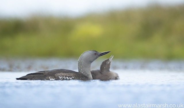 Red Throated Divers