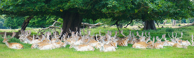 Stags under a Horse Chestnut tree